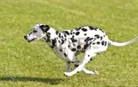 15384265-dog-race